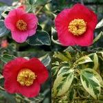 Camellia japonica 'Portuense'