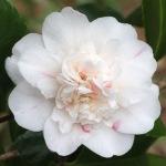 Camellia japonica 'Press's Eclipse'