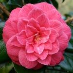 Camellia japonica 'Princess Anne'