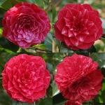 Camellia japonica 'Princesse Baciocchi'