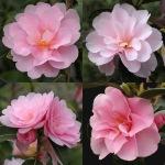 Camellia 'Prudence'