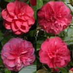 Camellia japonica 'Purple Emperor'
