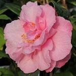 Camellia x williamsii 'Quinto'