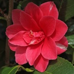 Camellia japonica 'Rainy Sun'