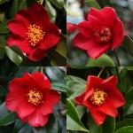 Camellia japonica 'Red Cardinal'