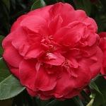 Camellia japonica 'Red Ensign'