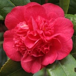 Camellia 'Red Fellow'