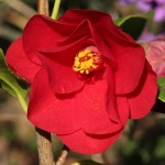 Camellia japonica 'Red Hots'
