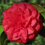 Camellia japonica 'Red Rogue'