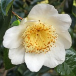 Camellia japonica 'Rôgetsu'