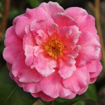 Camellia x williamsii 'Rose Hollard'