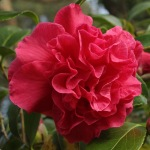 Camellia x williamsii 'Rose Parade'