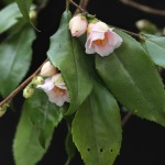 Camellia rosiflra 'Rosaeflora Cascade'