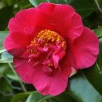 Camellia x williamsii 'Rosie Anderson'