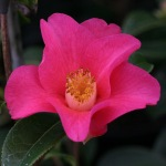 Camellia saluensis Dark red form