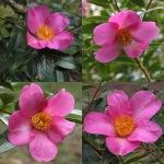 Camellia saluensis