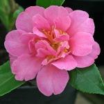 Camellia 'Sasanqua Rosea Plena'