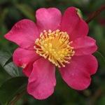 Camellia sasanqua 'Sasanqua Rubra'