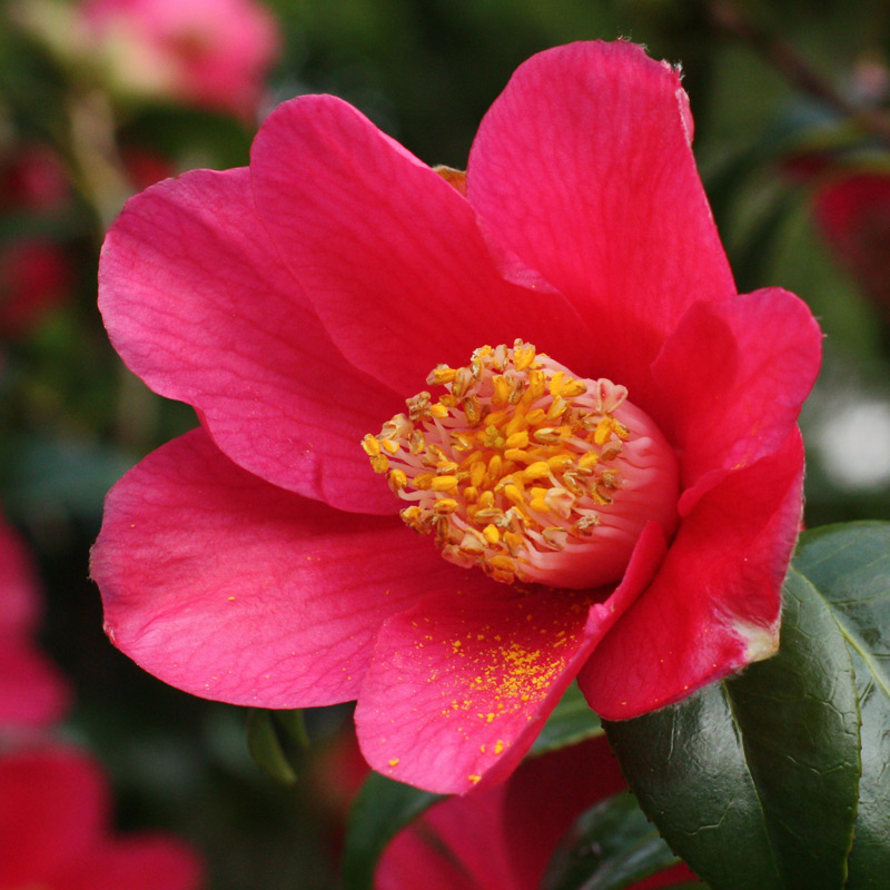 Camellia japonica 'Scented Red'
