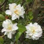 Camellia 'Scentuous'