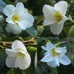 Camellia wabisuke 'Shiro-wabisuke'