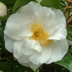Camellia japonica 'Shirobotan'