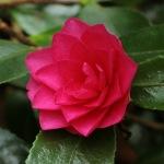 Camellia hiemalis 'Shishigashira'