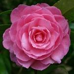 Camellia x williamsii 'Shocking Pink'