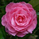 Camellia x williamsii 'Shocking Pink'