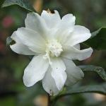 Camellia sasanqua 'Silver Dollar'