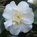 Camellia japonica 'Simplicity (Australia)'