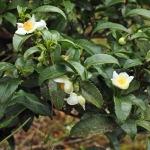 Camellia sinensis