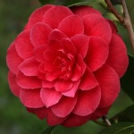Camellia japonica 'Sir Victor Davies'