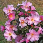 Camellia pitardii 'Snippet'