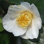Camellia japonica 'Snow Goose'