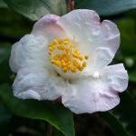 Camellia 'Snow Drop'