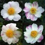 Camellia sasanqua 'Souvenir de Claude Brivet'