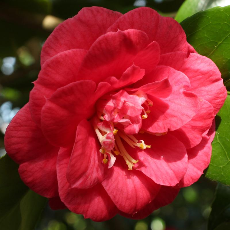 Camellia japonica 'Splendens'