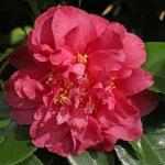 Camellia japonica 'Spring Fever'