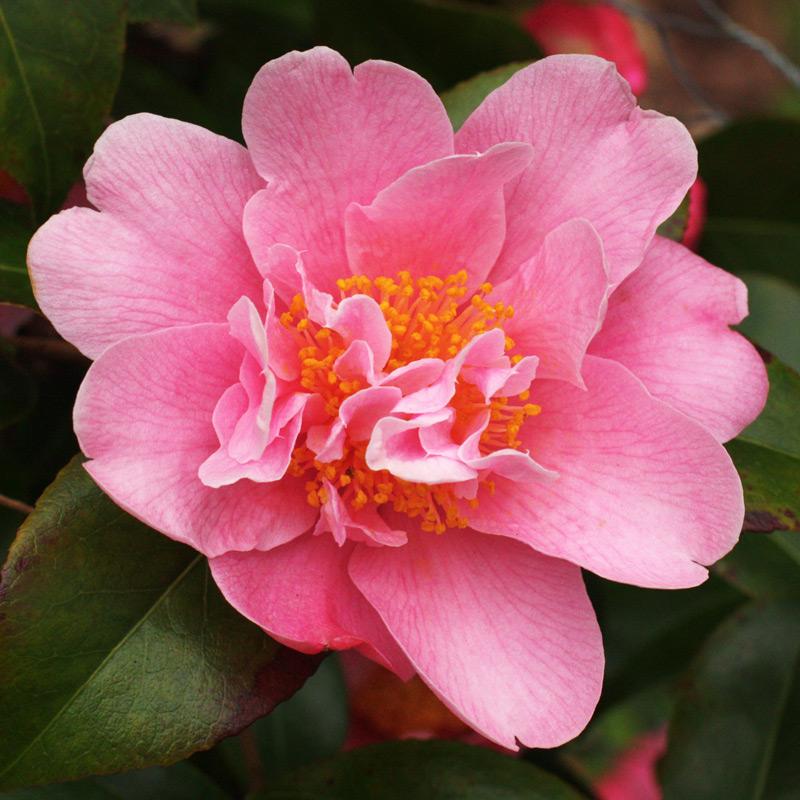 Camellia pitardii 'Sprite'