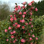 Camellia x williamsii 'Saint Michael'