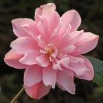 Camellia x vernalis 'Star Above Star'