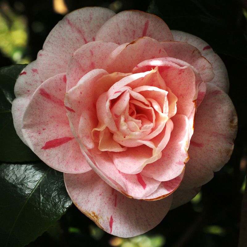 Camellia japonica 'Strawberry Blonde'