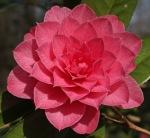 Camellia x williamsii 'Sun Song'