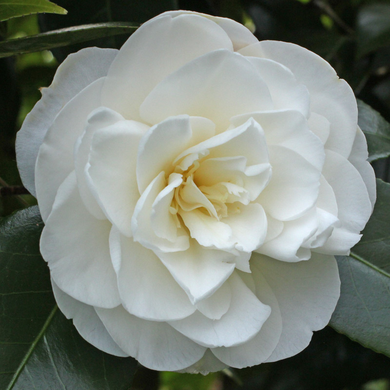 Camellia japonica 'Swan Lake'