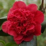 Camellia japonica 'Takanini'