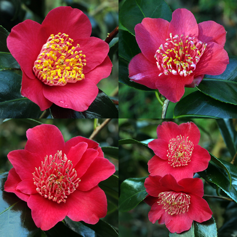 Camellia japonica 'Takayama'