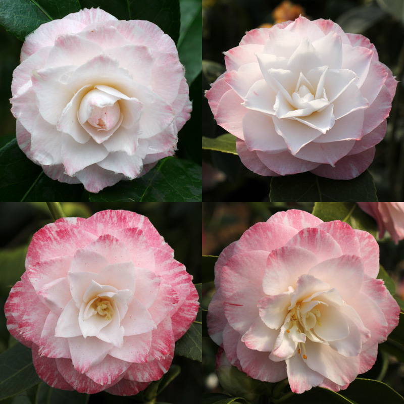 Camellia japonica 'Tammia'