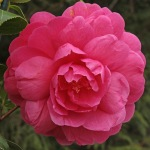 Camellia 'Tamzin Coull'