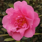 Camellia 'Taylor's Perfection'
